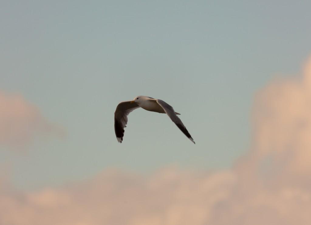 Озёрная чайка