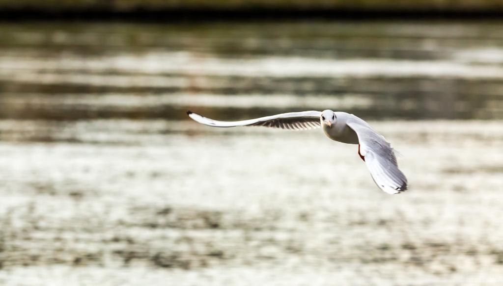 Чайка над Дунаем